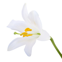 White lily. Photo-realistic Vector illustration. Isolated on whi