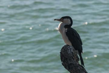 australian pied cormorant resting above lake