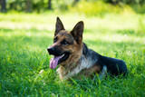 Purebred German Shepherd - 66281002