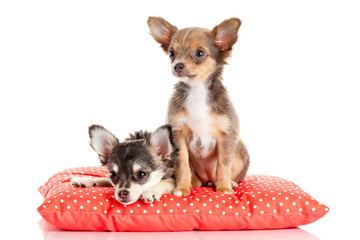 adorable Chihuahua puppy.  Cute Chihuahua dog on a white backgro