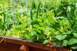 canvas print picture - Erdbeeren und Salat im Hochbeet