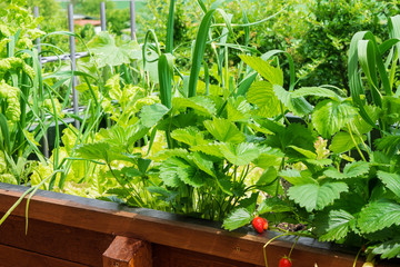Erdbeeren und Salat im Hochbeet