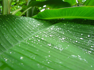 Rain drop on banana leaves