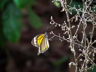 leopard butterfly white plant