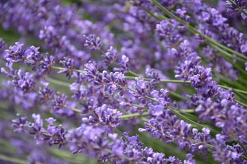 erste Lavendelblüte