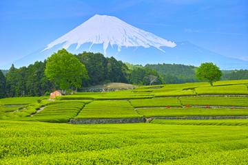 富士山と新緑の茶畑