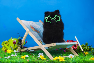 black pomeranian on relax