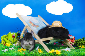 black pomeranian and chinchilla on relax