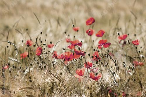 Obraz na Szkle wild poppy flowers