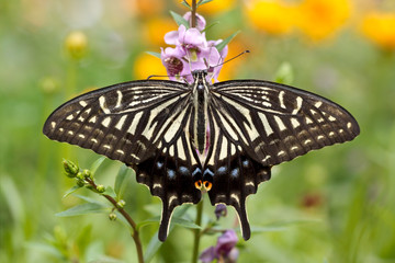 Swallowtail butterfly on a flower