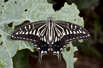 Swallowtail butterfly (lat. Papilio xuthus) on a cabbage leaf