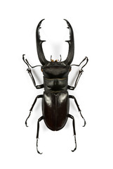 Male stag-beetle isolated on white background