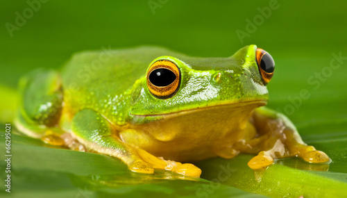 Foto op Canvas Kikker Orange-thighed tree frog