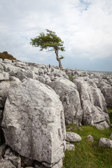 Lone tree on Twisleton Scar in the Yorkshire Dales.