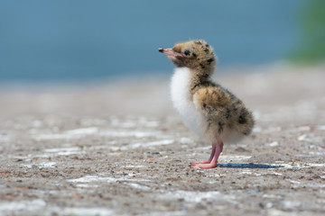 Common Tern Chick