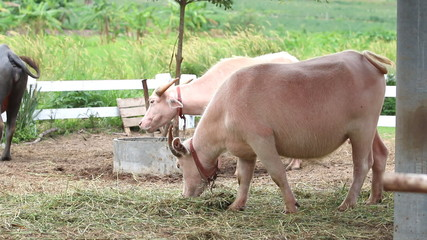 Albino buffalo in farm, Thailand. HD Clip.