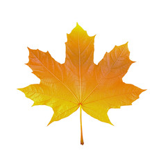 maple leaf on white background, macro photo,