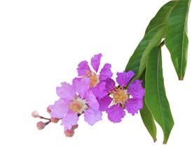 Purple crape myrtle flower (Lagerstroemia speciosa)