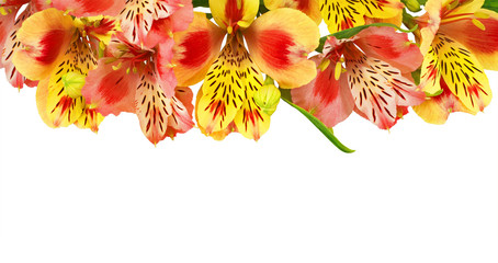 Alstroemeria bouquet isolated on white background