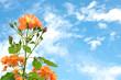 Orange rose on sky background
