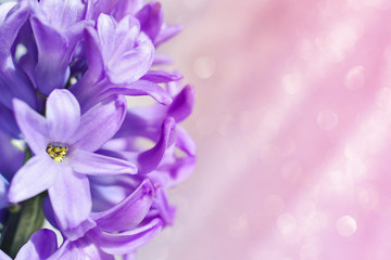 Hyacinth flower on a pale pink background