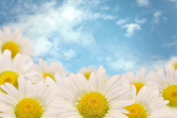 Daisies on a background of the sky