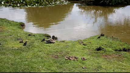 Mother duck with baby ducklings on riverbank