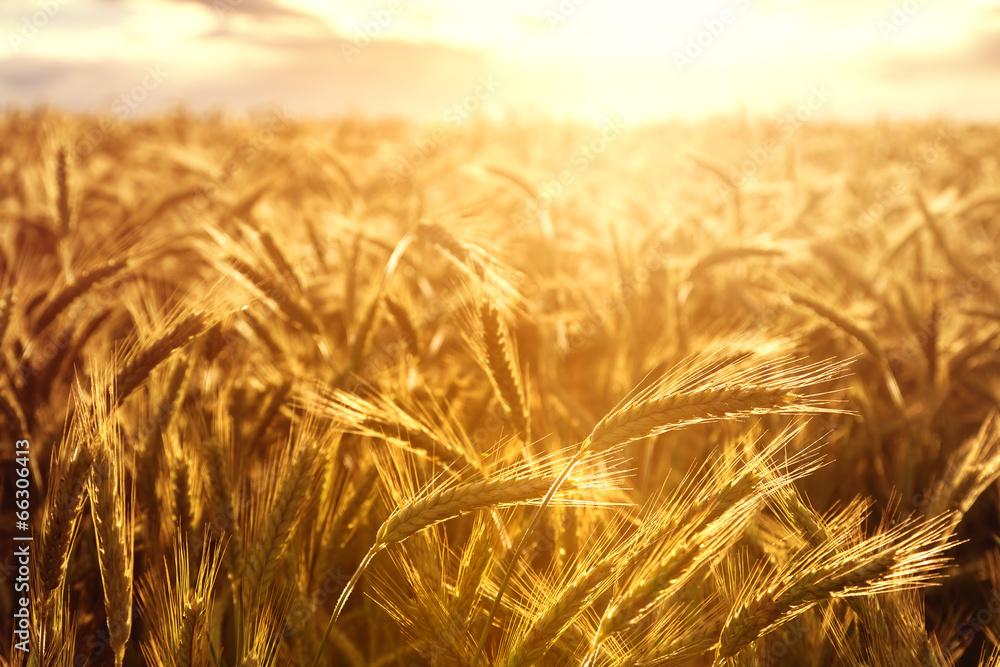 pszenica plon przemysł - powiększenie