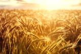 Wheat crops towards the setting sun