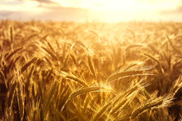 Wheat crops towards the setting sun