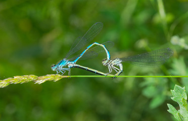 Coupling act in dragonfly family