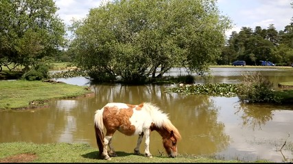 New Forest pony Janes Moor lake Hampshire England UK