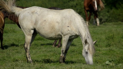 White horse grazing in a meadow. In the background is a herd of