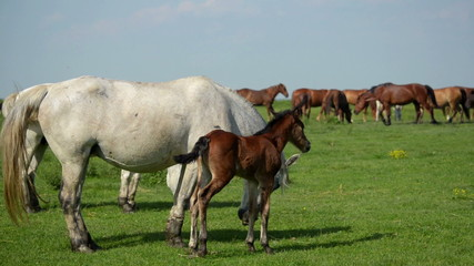 White mare and foal brown grazed in a meadow