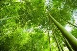 Fototapeta Korony bambusa w lesie