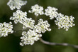 Flowers of cow parsley in St. Geertruid, Netherlands.
