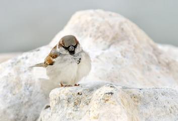 A beautiful sparrow