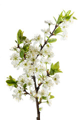 blooming cherry branch - flowers and buds isolated on white back