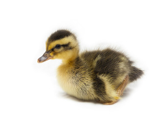 Little Baby Duck