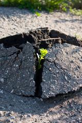 Побег растения ломает асфальт