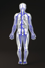 Corpo umano sezione sagoma ossa scheletro sistema circolatorio