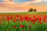 Fototapety Poppies field at sunset