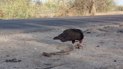 Vultures Picking Carcass Close 1