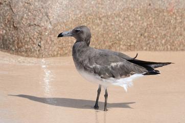 Серая чайка на мокром песке на берегу моря