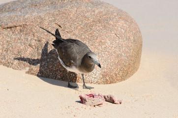 Серая чайка клюет добычу на песчаном берегу моря
