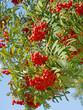 Eberesche - Sorbus aucuparia