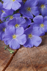 Blue flax flowers close up vertical