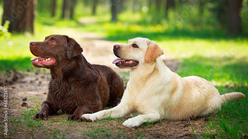 Foto Spatwand Hond two labrador retriever dog