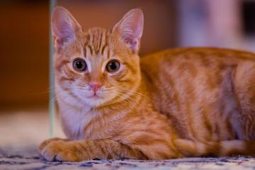 gatto rosso mentre sta riposando