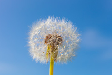 Dandelion and seeds in blue sky